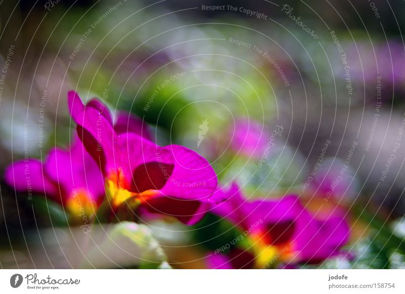Beautiful Flower Blossom Spring Pink Violet Blossoming Wake up Blossom leave New start Meadow flower Primrose