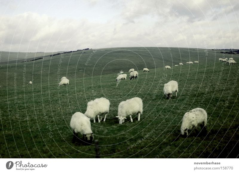 Nature White Green Blue Clouds Animal Grass Landscape Earth Sheep England Wool Plain Herd Lawnmower