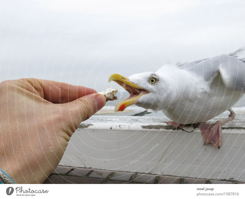 Get your hands off me! Finger food Snack Beach Hand Fingers Clouds North Sea Animal Seagull 1 To feed Feeding Aggression Brash Maritime Speed Blue Gray