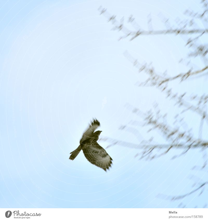 landing approach Aviation Sky Tree Bird Movement Flying Blue Hawk Common buzzard Branch Twig Branchage Bird of prey Colour photo Exterior shot Deserted
