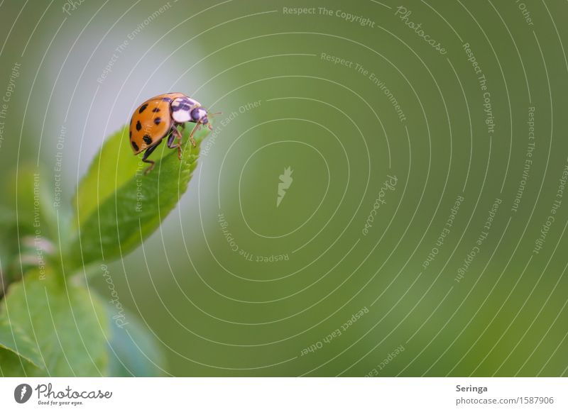 lucky charm Nature Plant Animal Spring Garden Park Meadow Wild animal Beetle Animal face Wing 1 Flying Leaf Ladybird Insect Colour photo Multicoloured Close-up