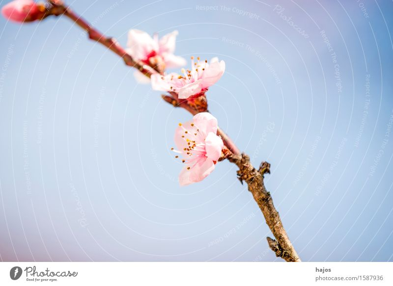 Plant Tree Blossom Spring Pink Blossoming Seasons Chinese March Splendid Spring flowering plant Fruit trees Stone fruit Peach tree