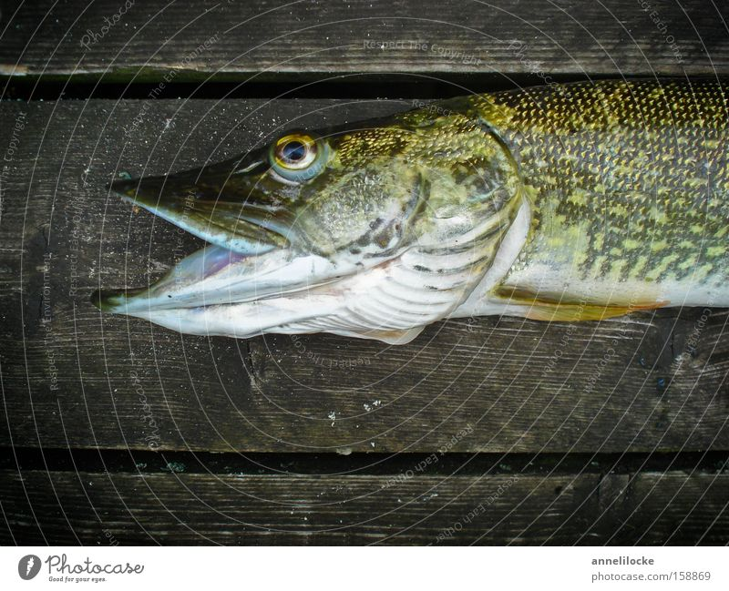 You're lucky Exterior shot Close-up Neutral Background Day Animal portrait Fish Nutrition Fishing (Angle) Lakeside River bank Wild animal Dead animal