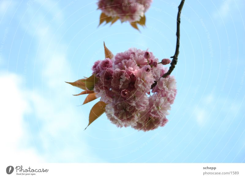 Sky Flower Plant Summer Clouds Blossom Spring Pink Branch