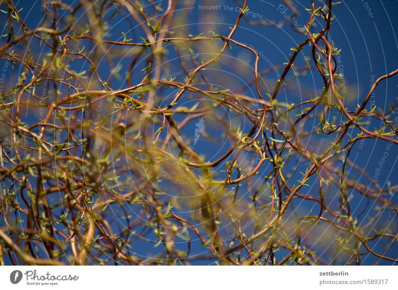 Sky Plant Sun Warmth Spring Garden Copy Space Depth of field Garden plot Willow tree Willow-tree Willow corkscrew