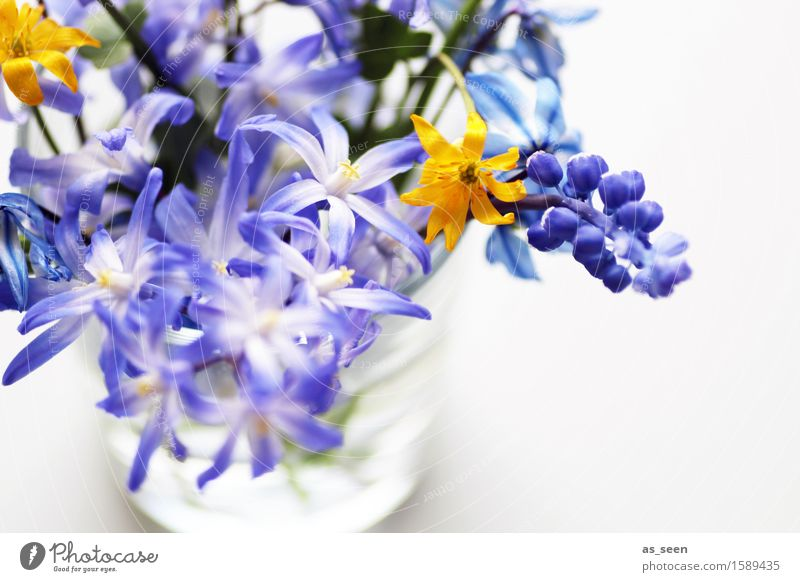 Self Picked Joy Life Harmonious Trip Decoration Mother's Day Easter Nature Spring Summer Climate Plant Flower Blossom blue star Celandine Hyacinthus Muscari