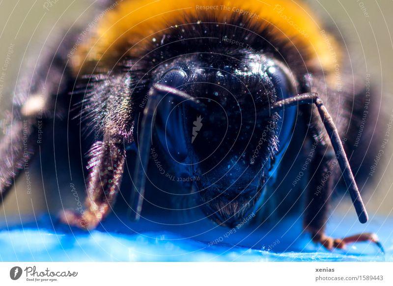 Blue Animal Forest Black Yellow Blossom Spring Meadow Legs Head Field Pelt Bee Striped Pollen Feeler