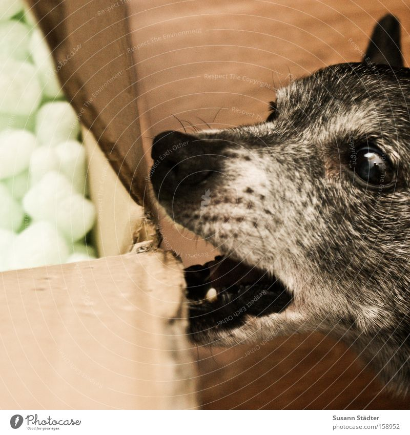 Hmm, yummy cardboard box!!! Dog To feed Appetite Cardboard box Paper Bolster Logistics Muzzle Mouth Set of teeth Old Eyes Ear Pelt Nose Mammal