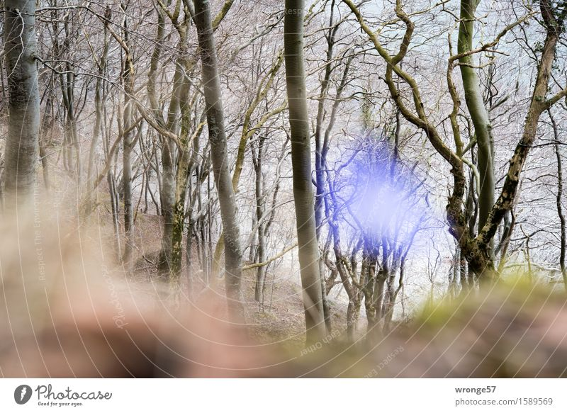 Blue is the word Nature Landscape Plant Spring Tree Blossom Hepatica nobilis Forest Baltic Sea Beech wood Brown Gray Green Edge of the forest Flower