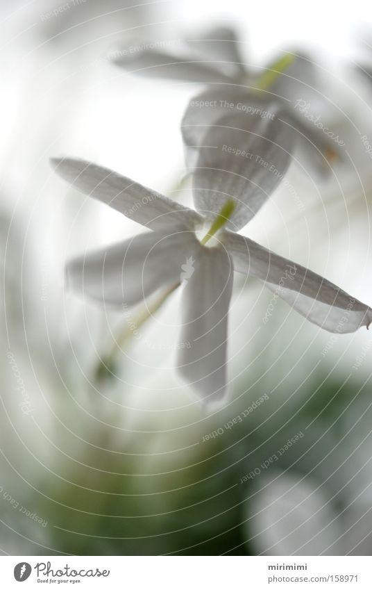 White Plant Flower Blossom Blossom leave