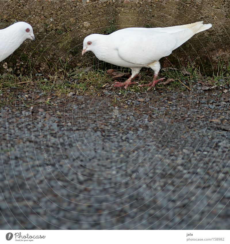 White Animal Stone Wall (barrier) Bird Ground Peace Feather Wing Traffic infrastructure Pigeon