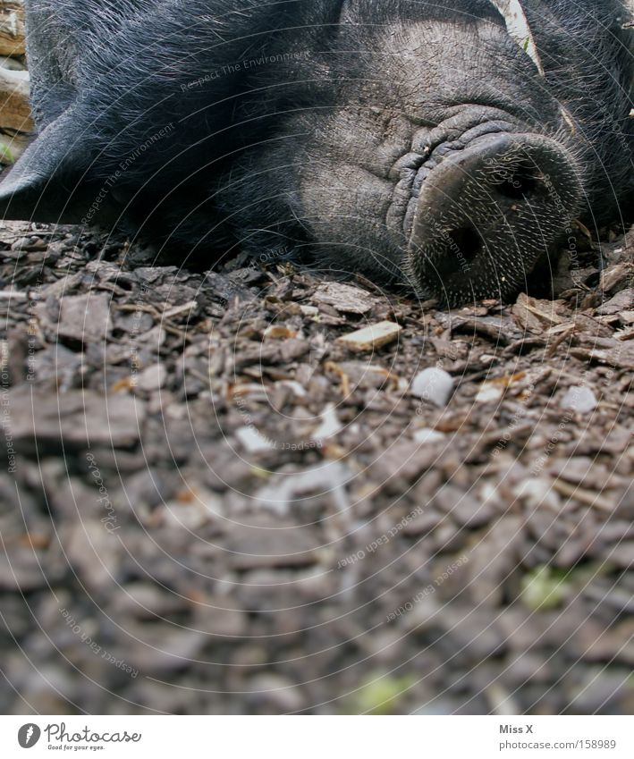 A Sugl Animal Pelt Wild animal Sleep Boredom Fatigue Wild boar Sow Swine Piglet Pot-bellied pig Boar Head Lie Colour photo Exterior shot Close-up Detail Snout