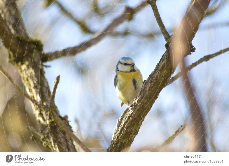 Blue tit on elder Nature Spring Garden Animal Wild animal Bird Tit mouse 1 Observe Sit Brash Beautiful Natural Curiosity Colour photo Exterior shot Close-up