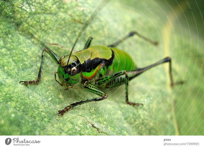 flip Environment Nature Animal Plant Leaf Foliage plant Wild plant Wild animal Animal face Locust 1 Jump Natural Green Great green bushcricket Feeler Insect