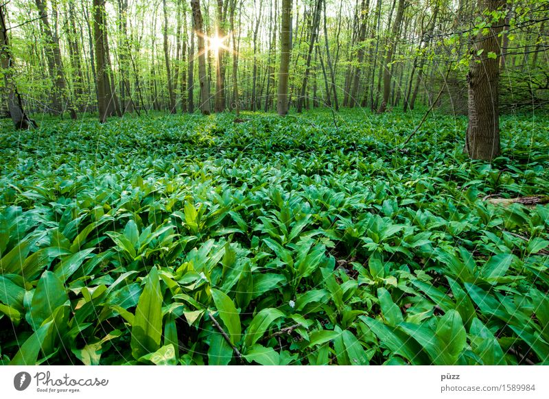 wild garlic Herbs and spices Club moss Nutrition Environment Nature Landscape Plant Sun Sunlight Spring Beautiful weather Tree Leaf Foliage plant Wild plant