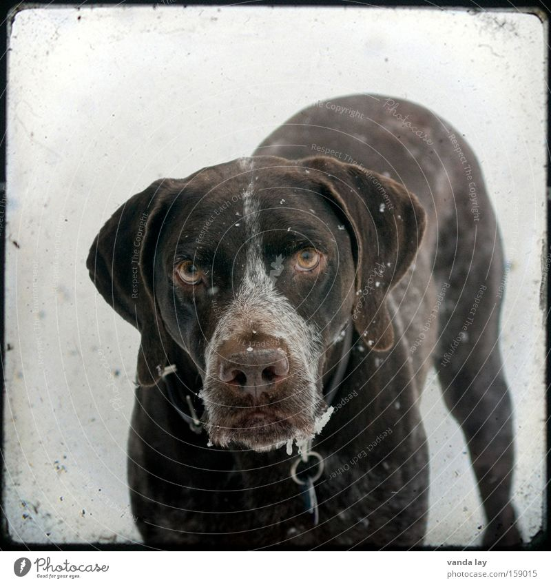 Winter Animal Dog Brown Communicate Square Mammal Pet Frame Loyalty Intensive Puppydog eyes