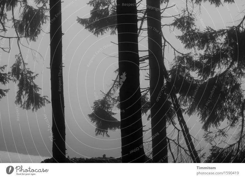 Black Forest. Nature Landscape Winter Fog Snow Tree Dark Natural Gray Spruce Black & white photo Evening Exterior shot Deserted Contrast Silhouette