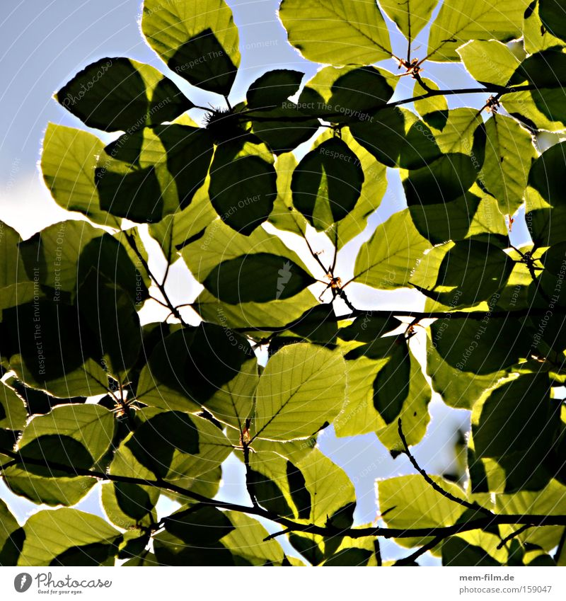 photosynthesis Leaf Photosynthesis Beech tree Sky Green Nature Environment Relaxation Summer Environmental protection Environmental pollution Forest death