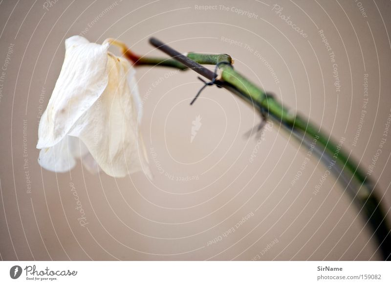Old flower death blossom a royalty free stock photo from photocase beautiful white flower death blossom decoration esthetic transience stalk still life orchid houseplant ornamental plant mightylinksfo