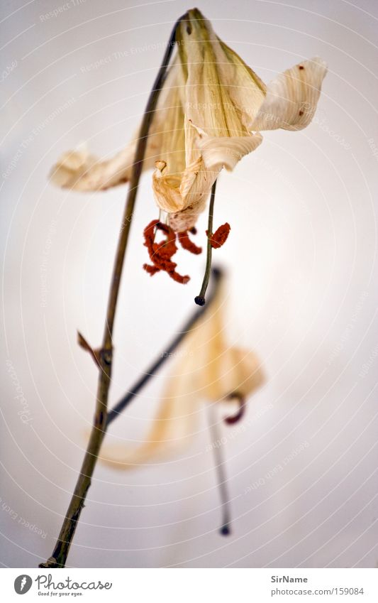Flower Yellow Death Blossom Contentment Transience Blossoming Beige Limp Pollen Faded Composing Ornamental plant Accomplishment