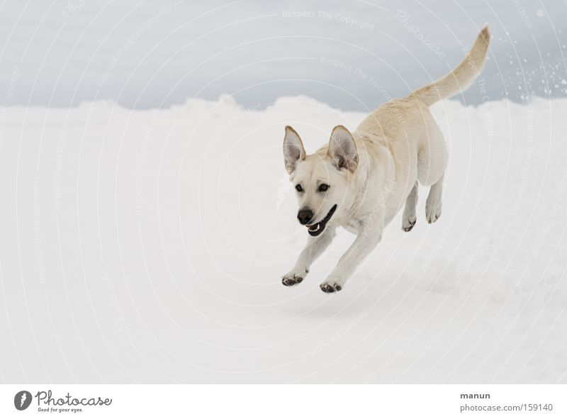 my happy dog :-)) Joy Happy Winter Snow Nature Dog Pet 1 Animal Movement Running Jump Brash Happiness Bright Funny Natural Beautiful Joie de vivre (Vitality)