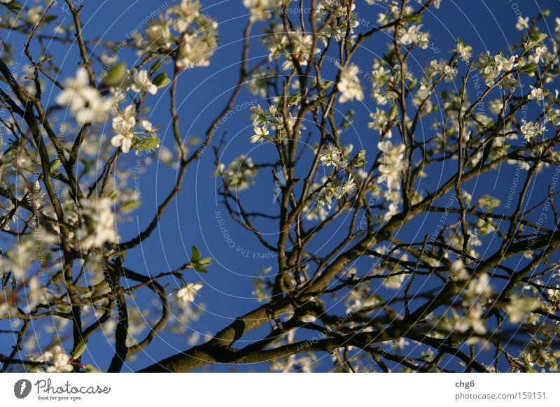 Cherry blossom branch in front of a blue sky Tree Branch Sky Structures and shapes Blue White Fruit Spring