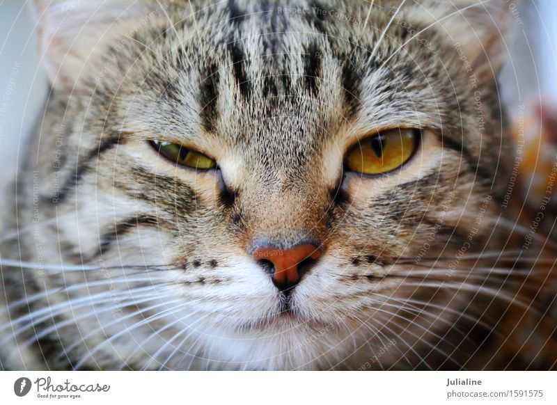 Cat portrait with yellow eyes Face Animal Moustache Pet 1 Stripe Near Yellow squint Mammal whiskers sideburns close Colour photo
