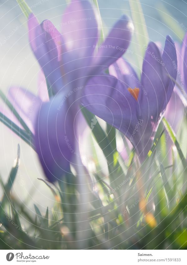 crocusscrowd Nature Plant Meadow Life Crocus Flower Growth Flourish Colour Spring Blossoming Beautiful Natural Fog Colour photo Exterior shot