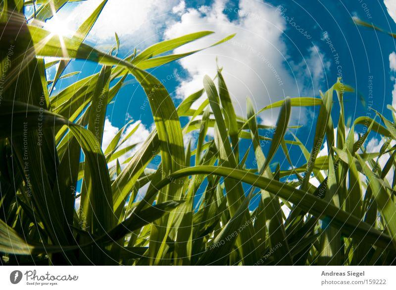 Sky White Sun Blue Summer Clouds Meadow Grass Spring Worm's-eye view Blade of grass