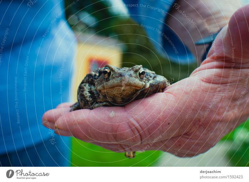 Old hands, young toad. One hand carefully holding a toad. The eyes of the toad look ahead. Joy Harmonious Garden Nature Spring Beautiful weather Bavaria Germany