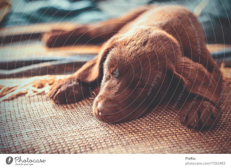Sleepy Puppy Animal Pet Dog 1 Baby animal Lie Beautiful Cuddly Cute Warmth Brown Moody Fatigue Labrador Lop ears Snout Sofa Cozy Soft Pelt Coat color