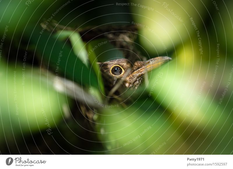 Blackbird breeding Animal Bird 1 Sit Brown Green Patient Calm Considerate Protection Incubating Parental care Nest Hiding place Propagation Colour photo