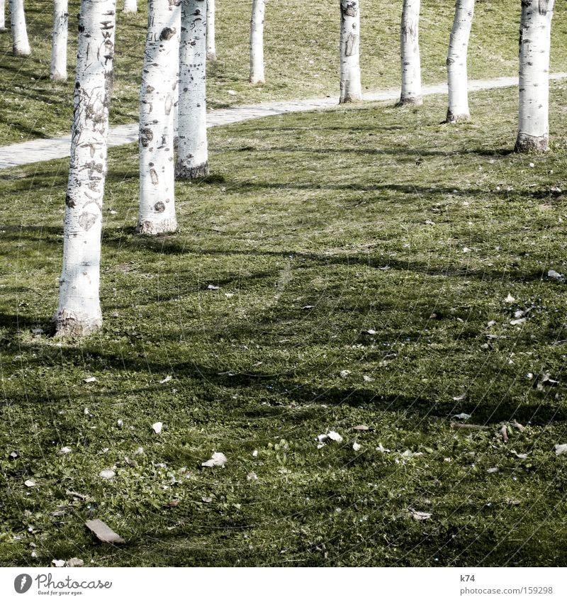 Beautiful White Tree Green Meadow Lanes & trails Lawn Birch tree