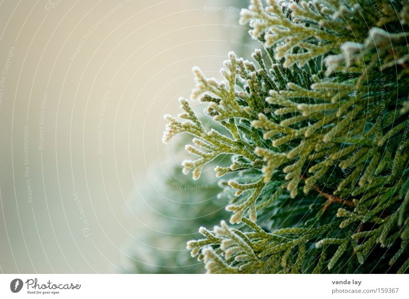 tree of life Thuja Tree Background picture Ice Winter Spring Green Nature Plant Detail Macro (Extreme close-up) Cold Hedge