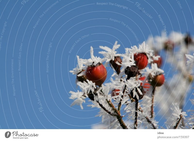 rose hips Rose hip Hoar frost Snow Sky Background picture Autumn Winter Red Blue White Thorn Thorny Nature Park Dog rose