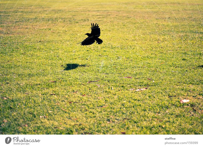 Meadow, raven, nothing more Raven birds Bird Flying Nature Light Shadow Beginning Departure Animal Aviation