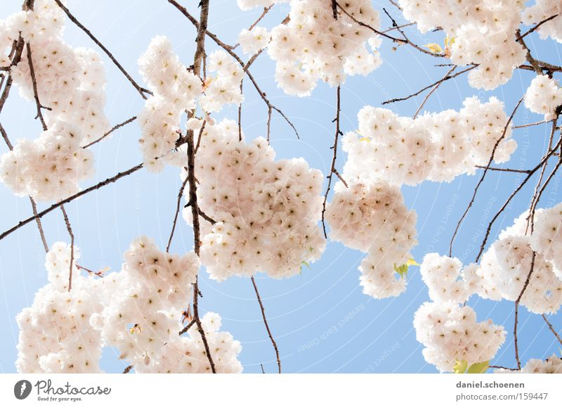 pinkish-light blue-white Spring Blossom Cherry Cherry tree Ornamental cherry Cherry blossom Warmth White Pink Blue Weather Branch Park