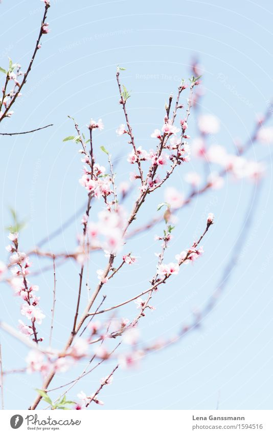 peach blossom Contentment Relaxation Meditation Environment Nature Landscape Plant Sky Sun Spring Bushes Blossom Agricultural crop Almond blossom Apricot tree