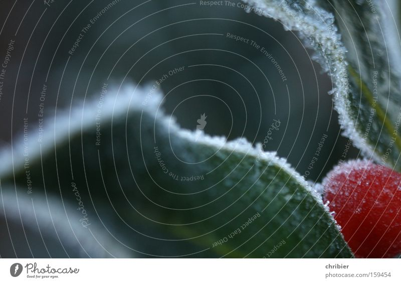 Christmas & Advent Winter Cold Snow Corner Frost Frozen Edge Berries Poison Hoar frost Poisoned Ilex Holly