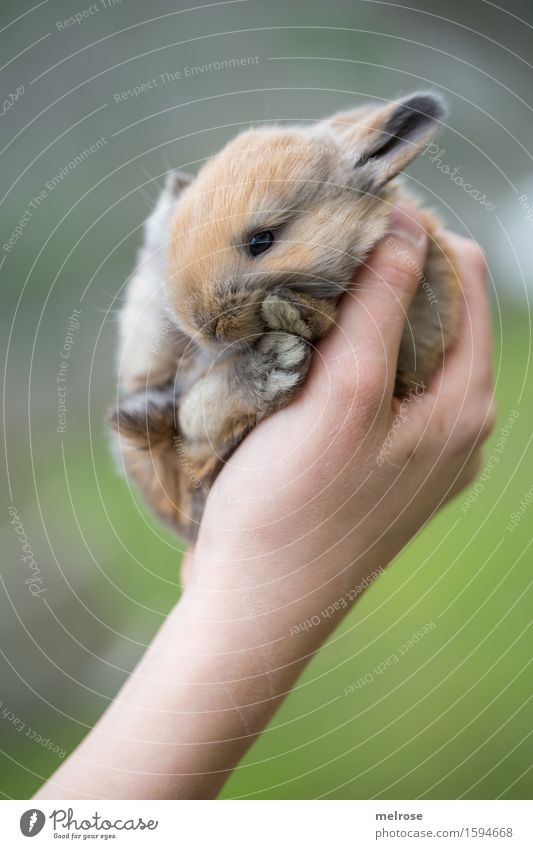A handful of sugar Girl Arm Hand Fingers 1 Human being 8 - 13 years Child Infancy Pet Animal face Pelt Paw baby hare Pygmy rabbit Rodent Mammal hare spoon