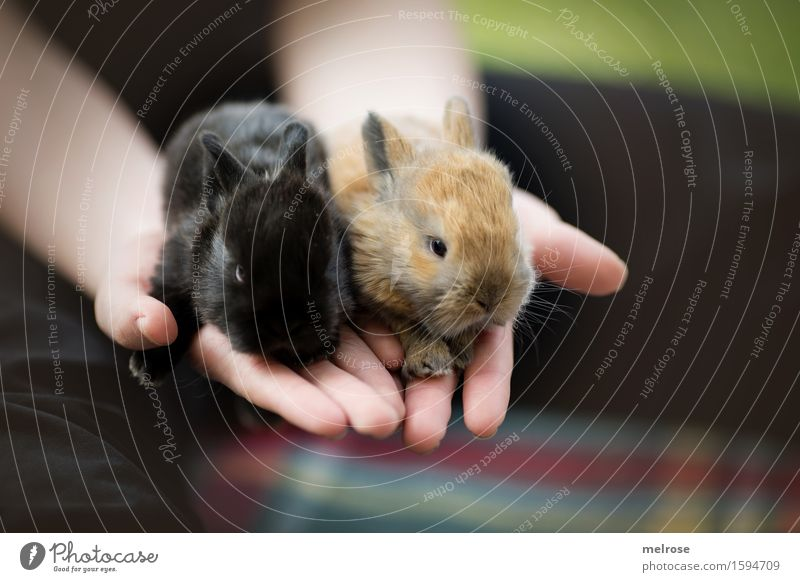 Rabbit babies 12 days old Girl Infancy Hand Fingers 8 - 13 years Child Pet Animal face Pelt Paw hare babies Pygmy rabbit Rodent Mammal Snout Baby animal