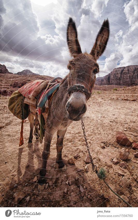 You donkey Landscape Animal Farm animal Donkey 1 Joy Tourism Logistics Jordan Colour photo Exterior shot Close-up Wide angle Animal portrait