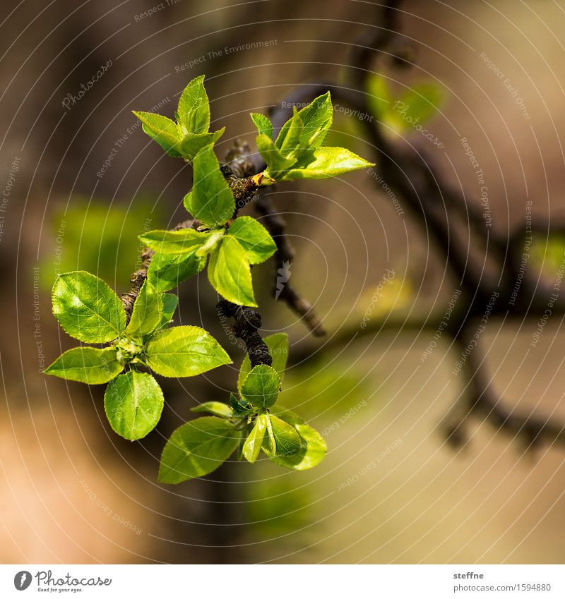 it sprouts Nature Plant Spring Tree Leaf Green Blossoming Sprout Colour photo Exterior shot Copy Space top Copy Space bottom Shallow depth of field