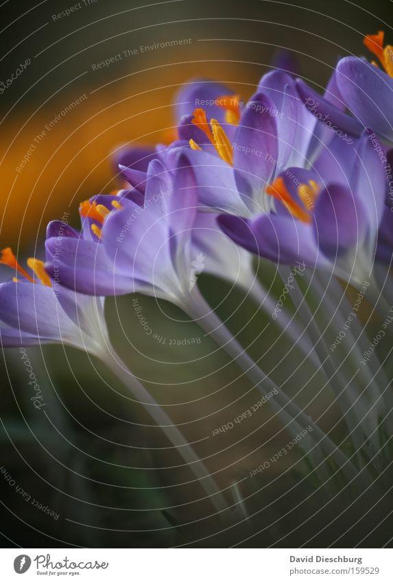 Start :-) Colour photo Close-up Detail Macro (Extreme close-up) Contrast Summer Nature Plant Spring Flower Blossom Blossoming Violet Crocus Stalk Nectar