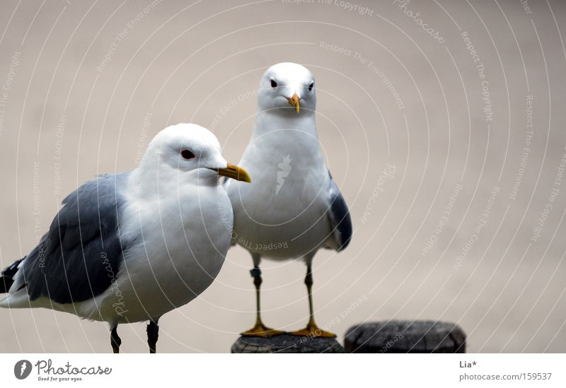 Animal Gray 2 Bird Pair of animals Sit In pairs Gloomy Seagull Beige