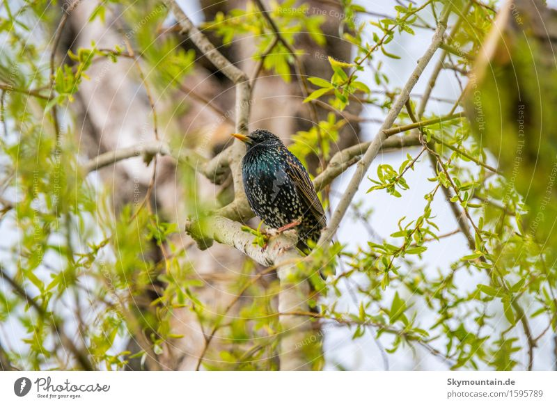 Star of the day Environment Nature Landscape Plant Animal Spring Summer Climate Weather Tree Leaf Wild animal Bird Animal face Wing Starling 1 Blue Brown Yellow