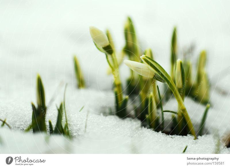 Small icebreakers Snowdrop Flower Plant Spring Sprout Growth Ice Delicate Fine Blossom Wake up Plantlet