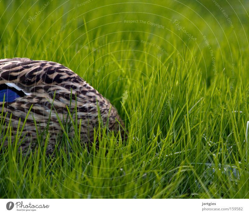 Relaxation Bird Fear Stress Hide Duck Panic Feed Worm Foraging Ostrich Mallard