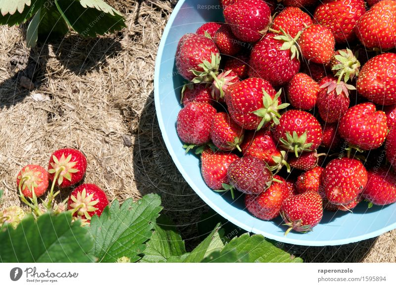 Let me take you down 'cause I'm going to ... Fruit Strawberry Plant reap Harvest Garden Eating Fresh Red abundance Field Delicious Bowl Pick Accumulate Summer