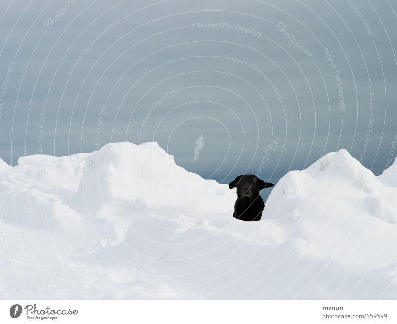 Find me! Dog Snow Winter Joy Expectation Happiness Happy Play instinct Playing Labrador Black Pet Trust retriever Friend of man